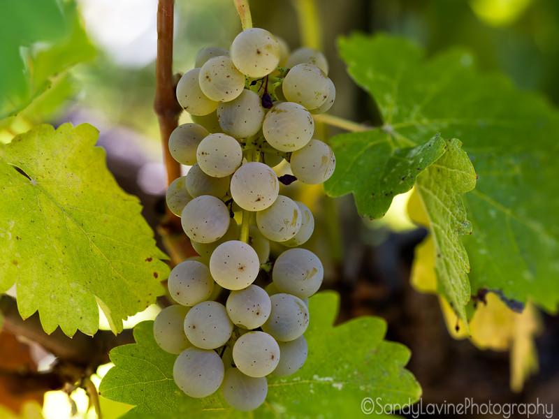 Chardonnay Grapes Detail