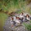 Flock of young Mergansers on the Sacramento River bank