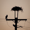 Homely but iconic local Osprey nest