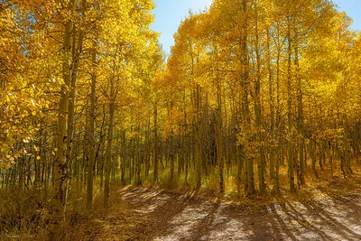 Lundy Canyon Aspens