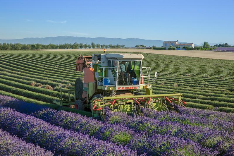 Harvesting Lavender, Provence