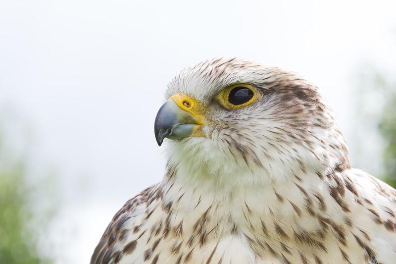 Saker falcon, Falco cherub