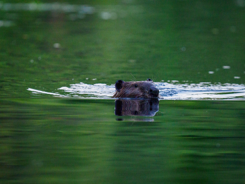 Then a beaver, who did the usual flap