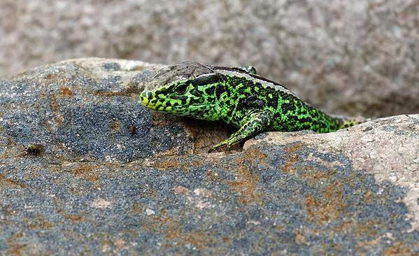 Lacerta agilis | Sand lizard | Zauneidechse