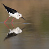 Black-winged Stilt; 700mm 1/3200 f/6.3 ISO 500