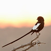 Magpie Shrike; 700mm 1/250 f/5.6 ISO 1,600