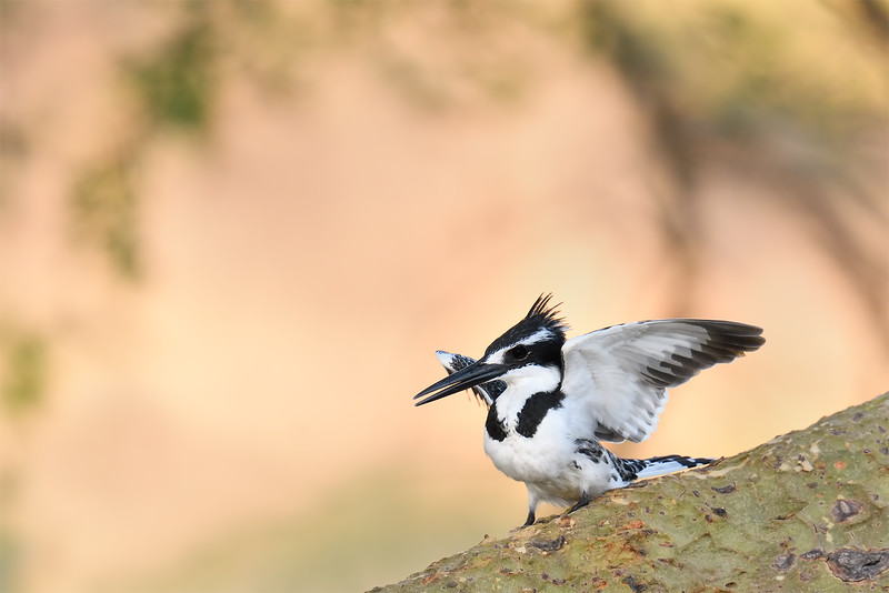 Pied Kingfisher; 700mm 1/1000 f/5.6 ISO 2,500