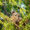 Great-horned Owlets Rt 162