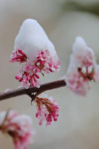 Snow-capped Viburnum x bodnantense — Kikeleti bangita hósapkában