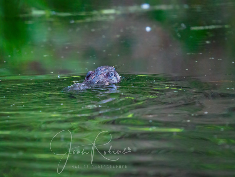 Muskrat swims past at 6:30 AM