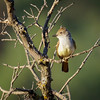 Ash-throated Flycatcher looking handsome in first light