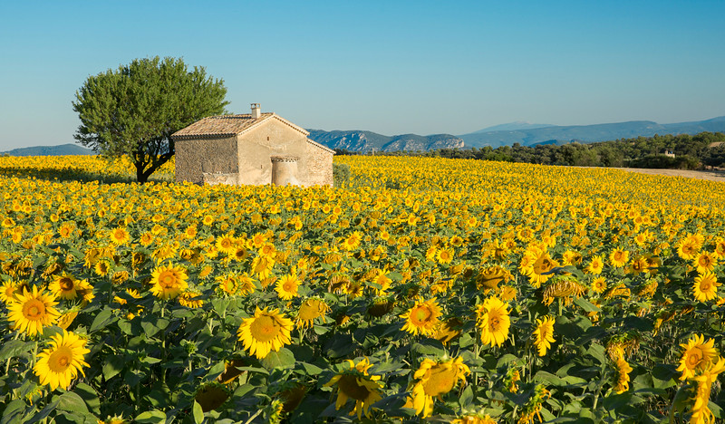 Sunflower field Provence