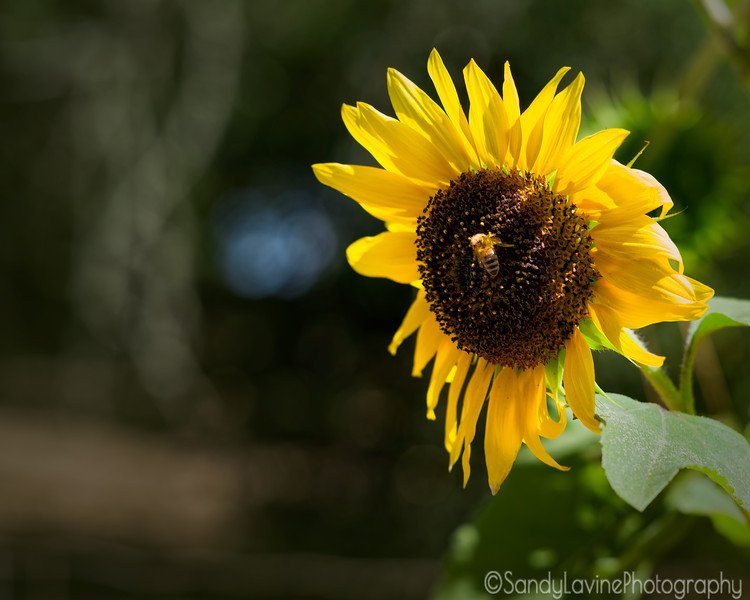 SunFlower and Bee Two