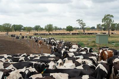 cows_pature_0295