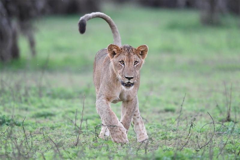 Lion; 500mm 1/320 f4 ISO 9,000