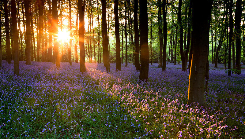 Bluebell wood at dawn