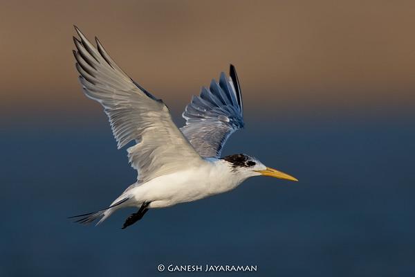 Greater Crested Tern (Thalasseus bergii)
