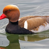 Netta rufina | Red-crested pochard | Kolbenente