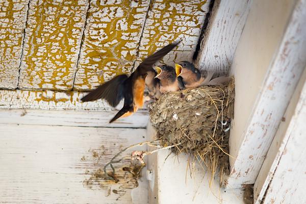 barn swallows 1