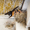 barn swallows 1