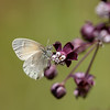 Coenonympha tullia   Common ringlet   Großer Heufalter