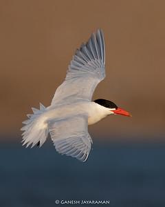 Caspian Tern (Hydroprogne caspia) - Breeding