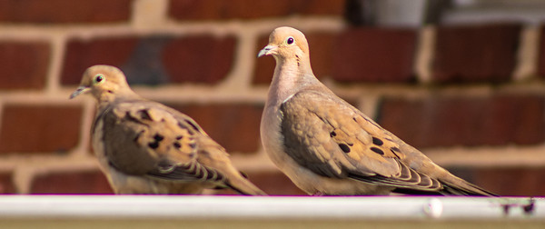 """""""Mourning Doves"""" Woodbourne, Baltimore MD"""