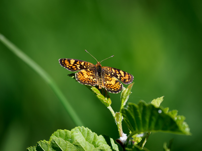 Dotted Checkerspot
