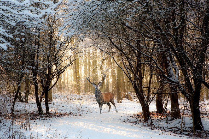 Red Stag in snowy clearing