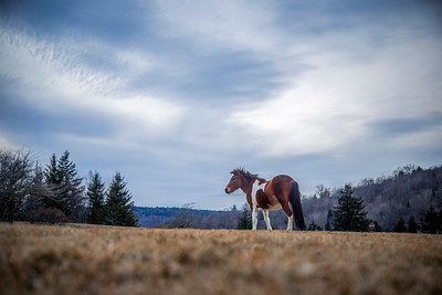 A wild pony stands in front of the final colors of twilight, at Grayson Highlands State Park, 1/16/17