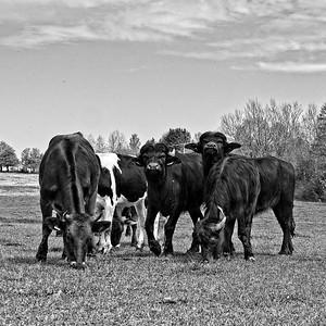 Bisons & Cows