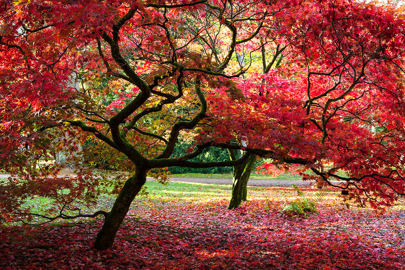 Japenese maple, Westonbirt