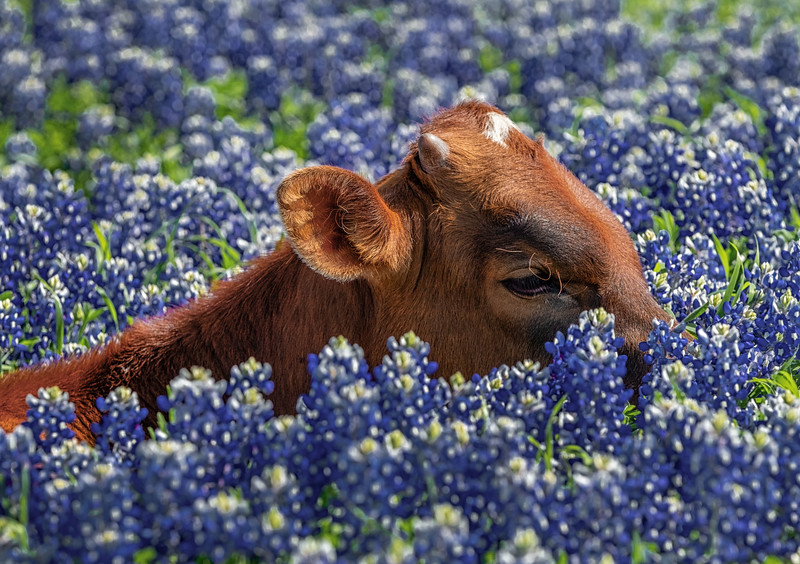 Baby Longhorn Soaking  It Up