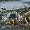 Wood duck starting a dive