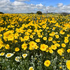 Goldfields, Carrizo Plain, California