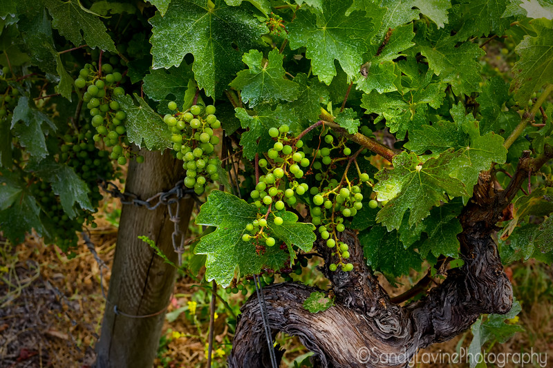 Howell Mountain Veraison