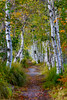 Avenue of the Birches