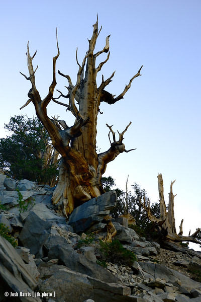 Ancient Bristlecone Pine Forest, August 2013.
