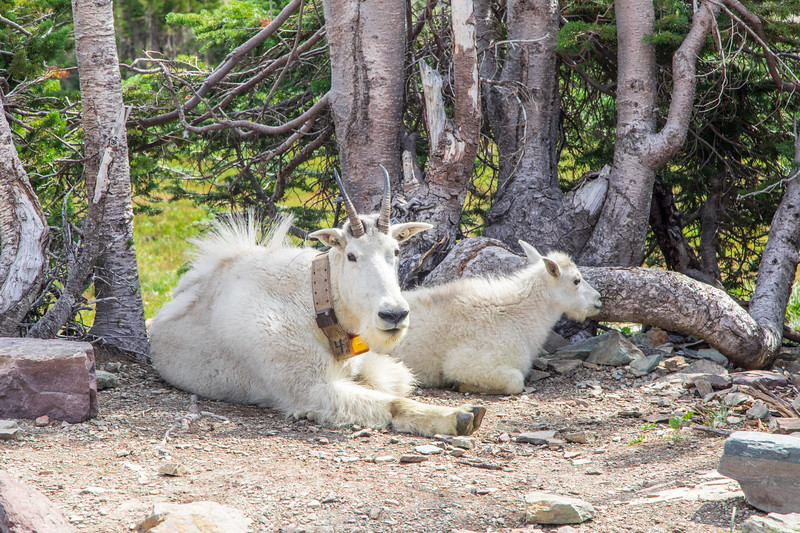 Mountain Goats chilling near the trail to Hidden Lake Overlook