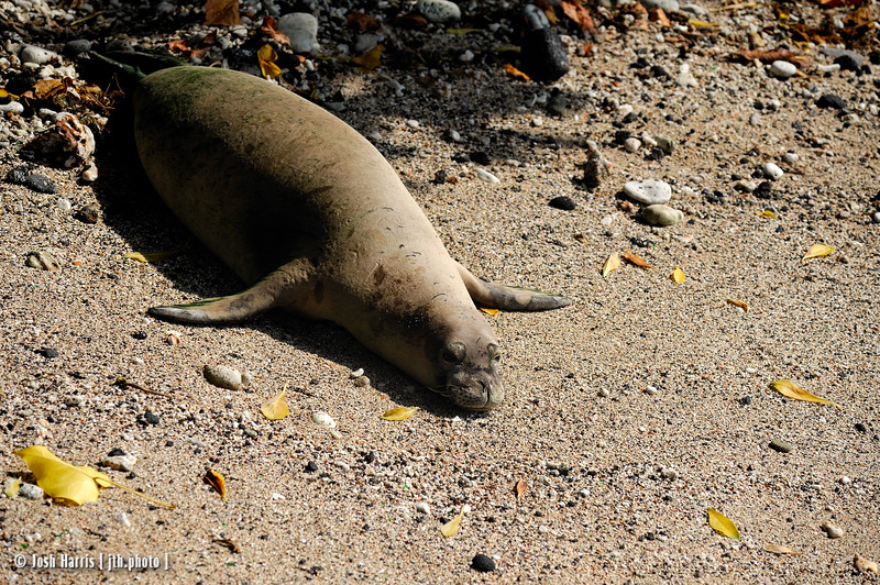 Monk Seal off Ali'i Drive, Kona, Hawai'i, December 2008.