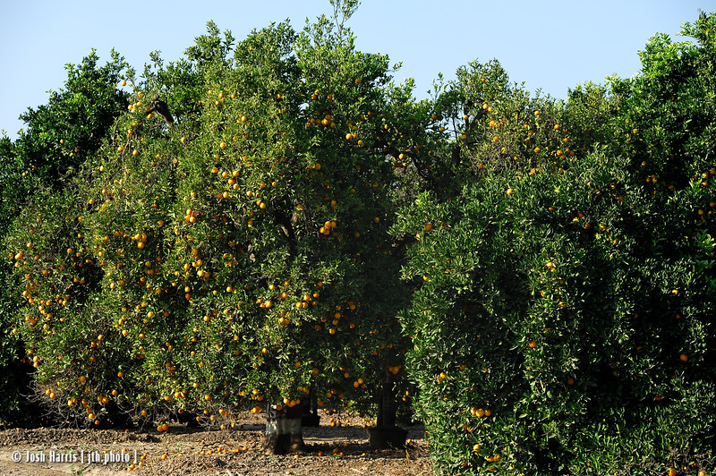 Citrus groves along Ojai Road, Ventura County, August 2008.