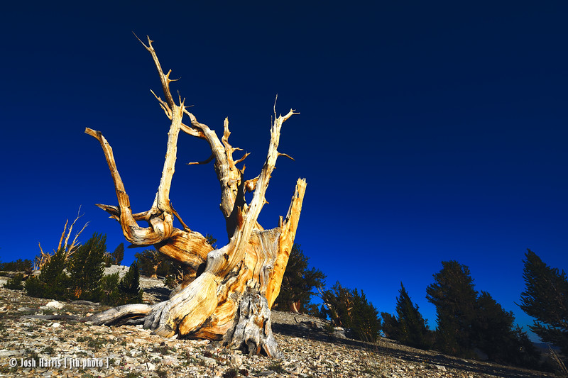 Ancient Bristlecone National Forest, August 2016.