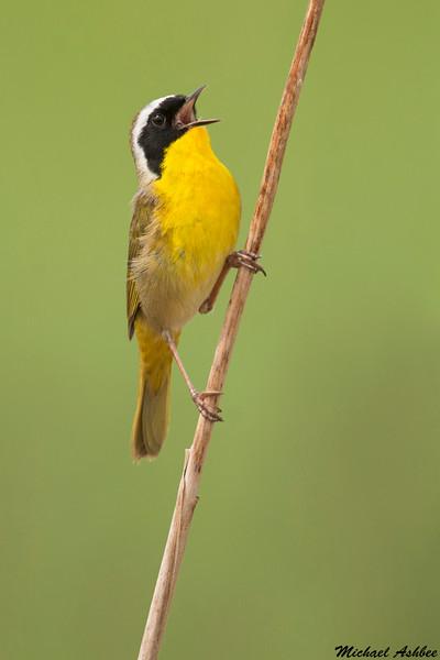 Common Yellowthroat,Victoria,B.C.