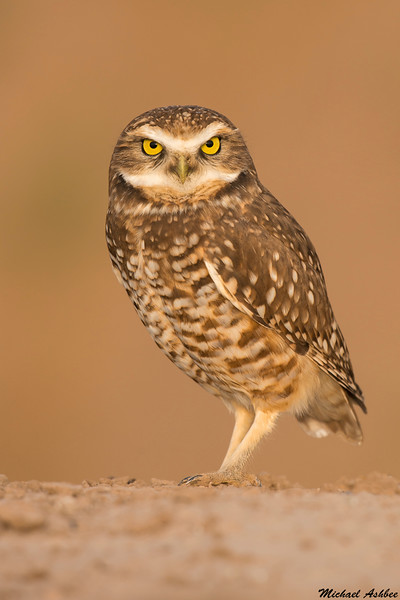 Burrowing Owl,Salton Sea,CA
