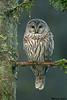 Barred Owl,Shawnigan Lake,B.C.