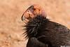California Condor,Grande Canyon,AZ