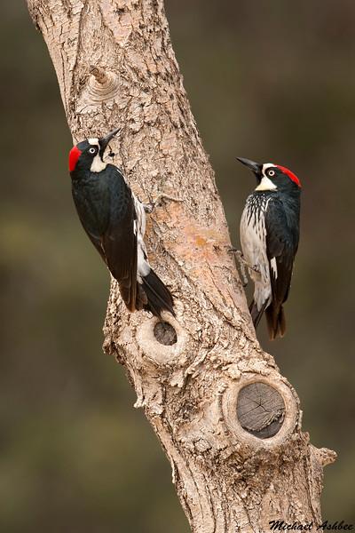 Acorn Woodpeckers,Madera Canyon,AZ