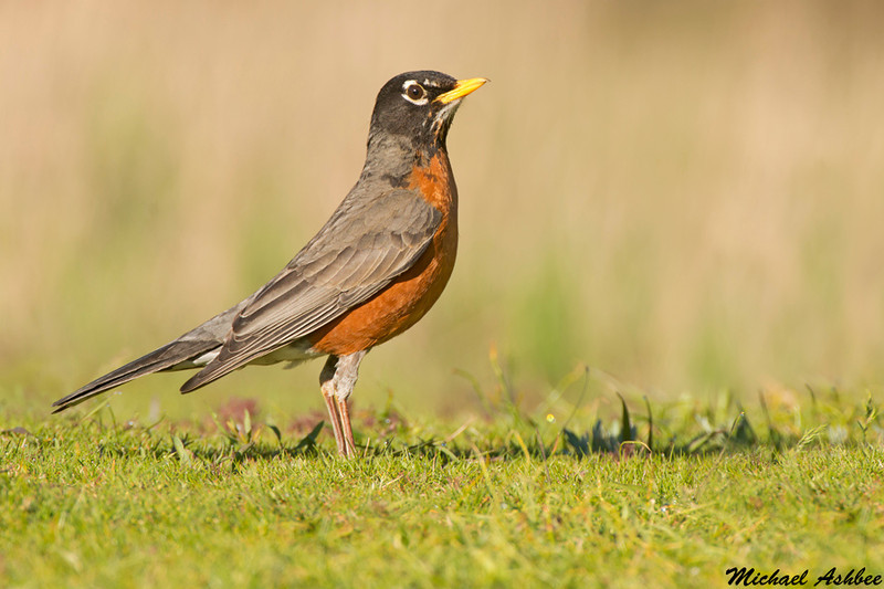 American Robin,Parksville(British Columbia)