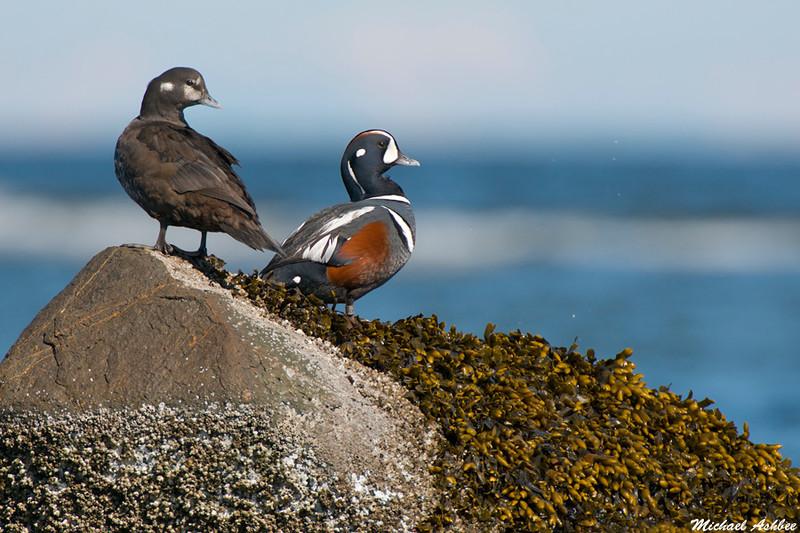 Harlequin Ducks,Qualicum Beach(British Columbia)
