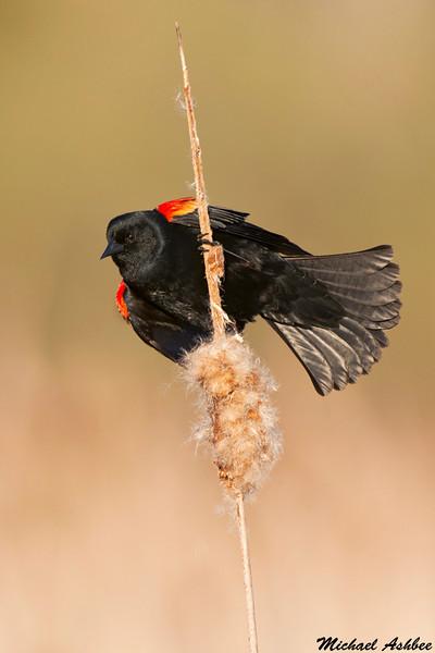 Red Winged Blackbird,Victoria(British Columbia)